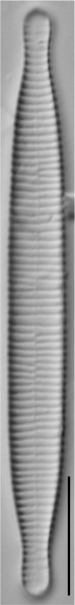 Fragilariforma virescens LM6