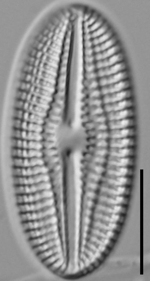 Diploneis abscondita LM4