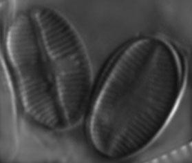 Psammothidium subatomoides LM8