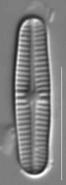 Rossithidium pusillum LM8