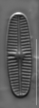 Rossithidium pusillum LM10