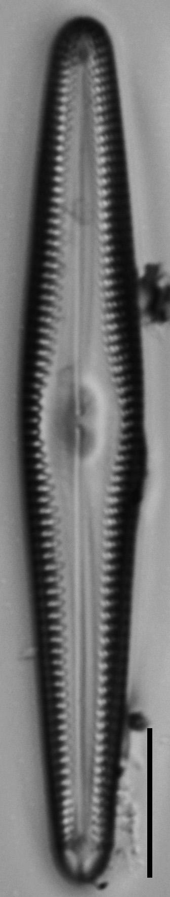 Gomphonema christenseni LM2
