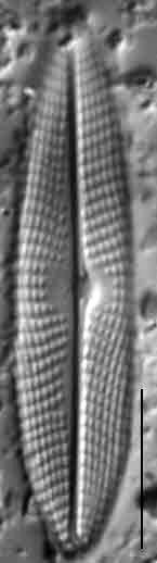 Navicula escambia LM1