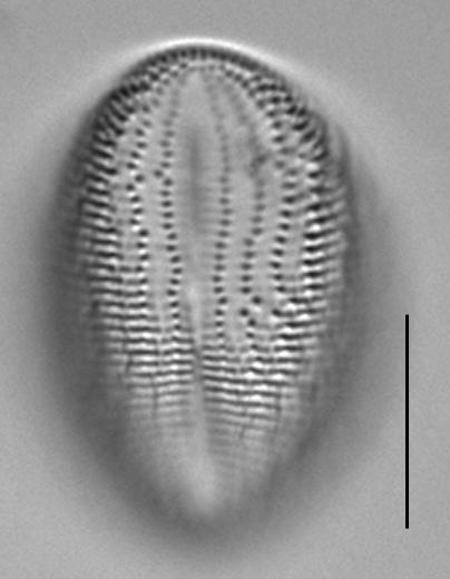 Cocconeis pediculus LM4