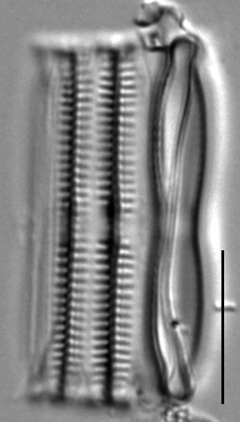 Fragilaria mesolepta LM1