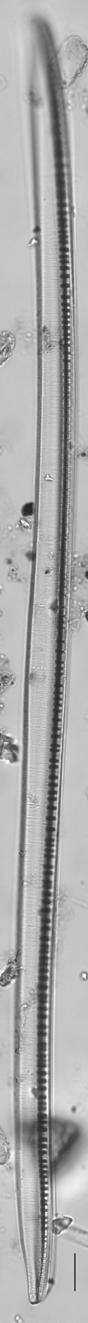 Nitzschia sigmoidea LM1