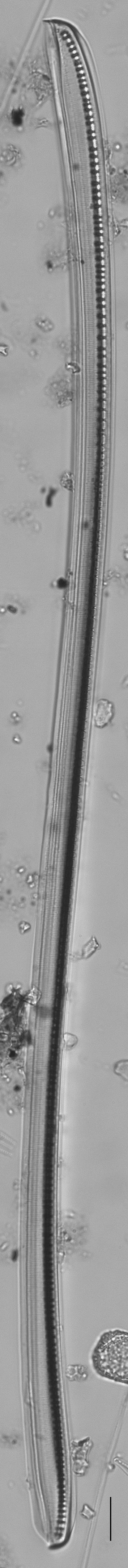 Nitzschia sigmoidea LM3