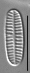 Rossithidium nodosum LM2