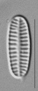 Rossithidium nodosum LM4