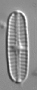 Rossithidium nodosum LM8
