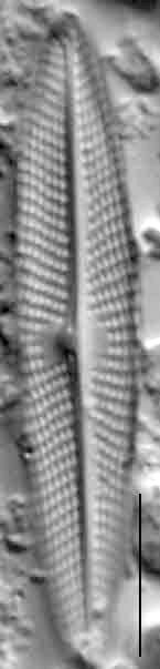 Navicula escambia LM2