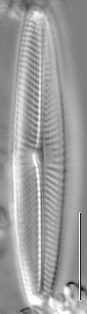 Navicula symmetrica LM2