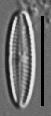 Mayamaea cahabaensis LM2
