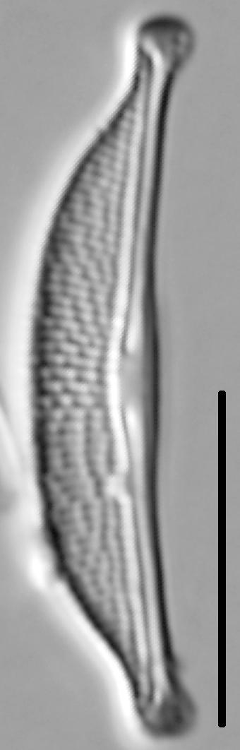 Halamphora oligotraphenta LM2