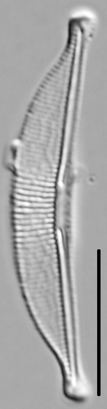 Halamphora oligotraphenta LM5