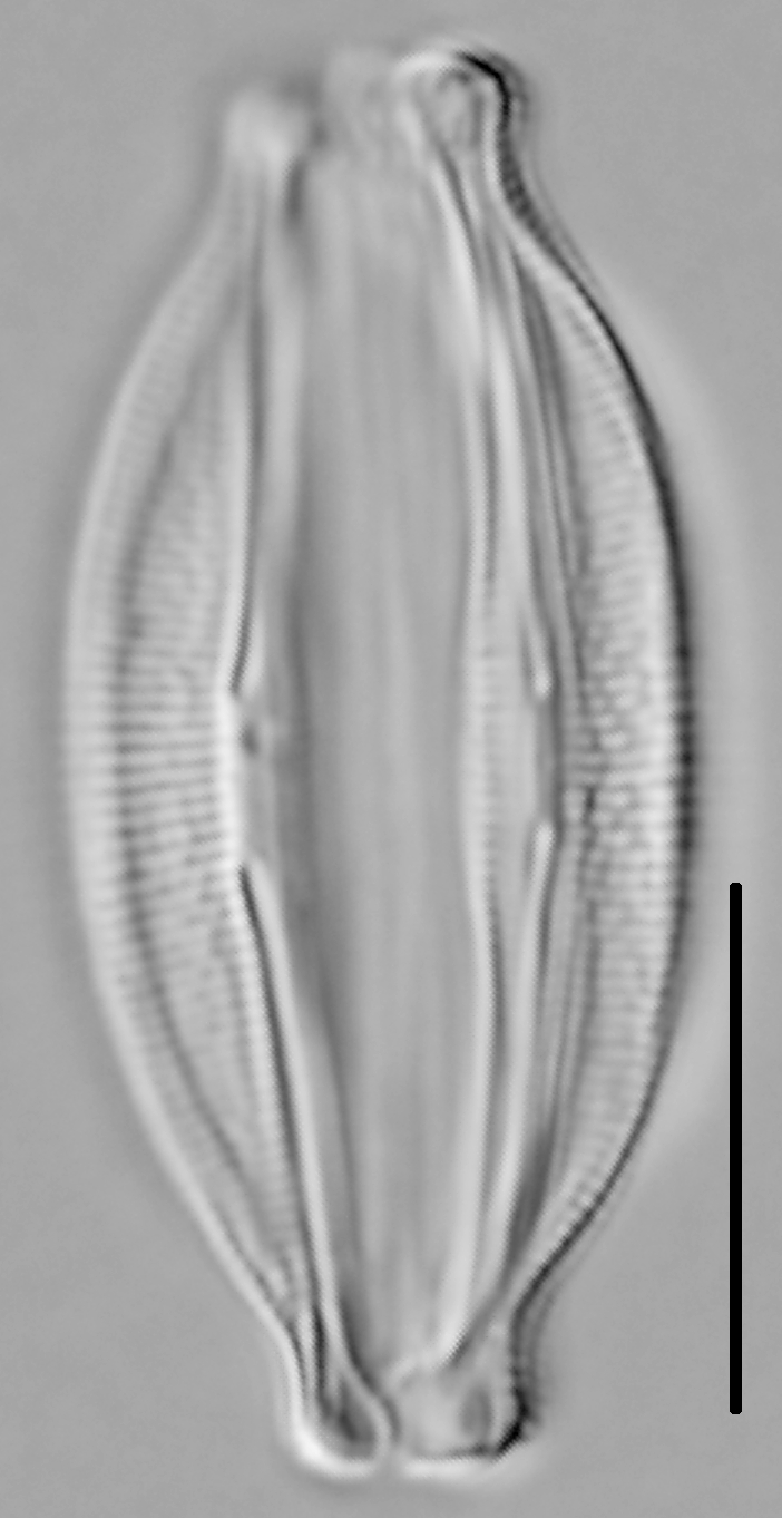 Halamphora oligotraphenta LM6