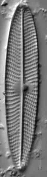 Navicula escambia LM3