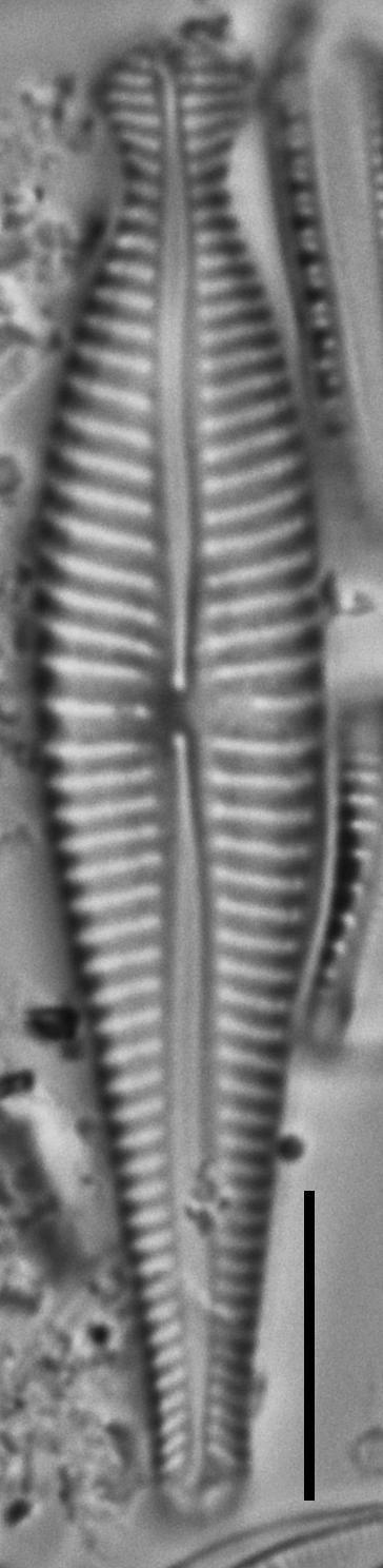 Gomphonema pseudosphaerophorum LM3