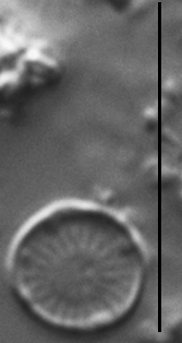 Discostella pseudostelligera LM2