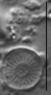 Discostella pseudostelligera LM4