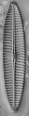 Navicula tripunctata LM2