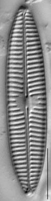 Navicula tripunctata LM14