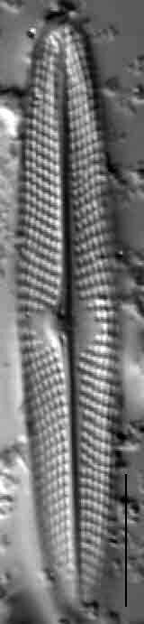 4  Navicula Escambia 103388B 11