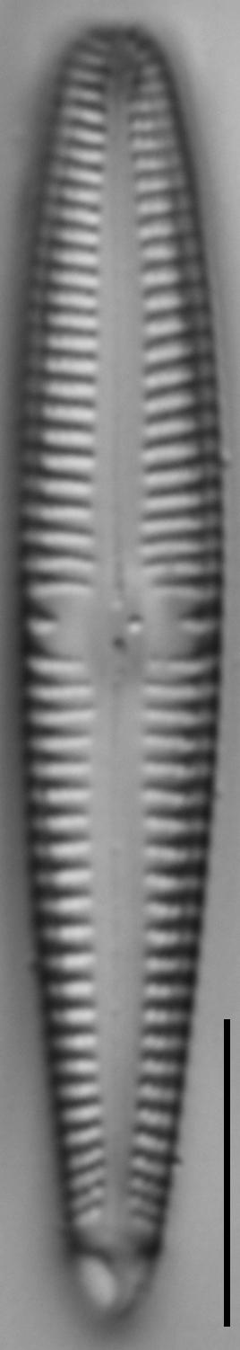 Gomphonema californicum LM4