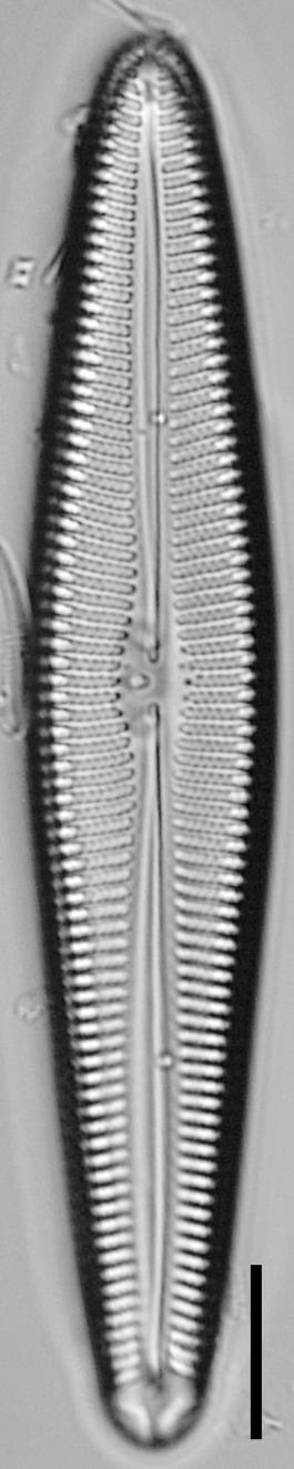 Gomphoneis oreophila LM6