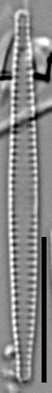 57578  Fragilaria Pennsylvanica 16