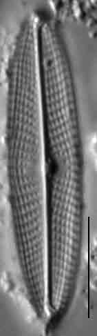6  Navicula Escambia 103388B 15