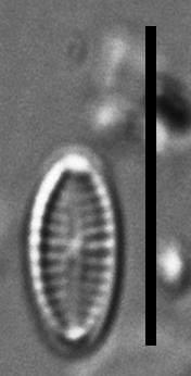 Mayamaea cahabaensis LM6