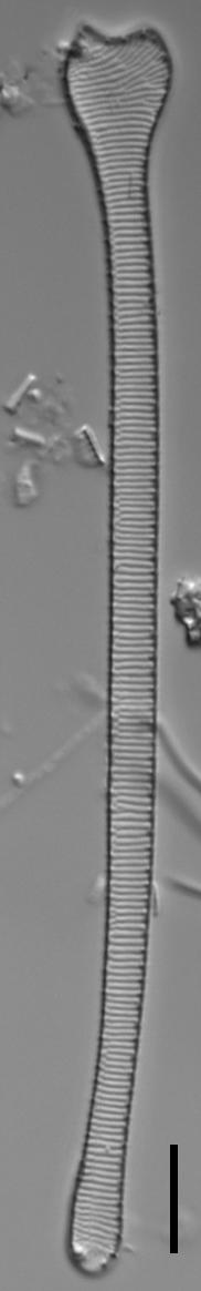 Actinella punctata LM5