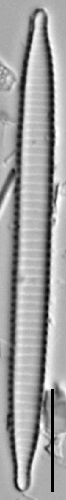 Ansp  Gc 54250  Fragilariforma Acidobiota  T4