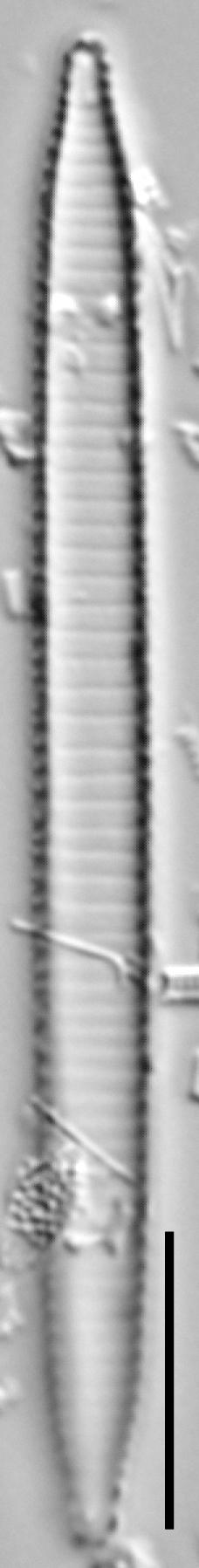 Ansp  Gc 54250  Fragilariforma Acidobiota  T6