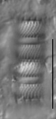 Aulacoseira pusilla LM5