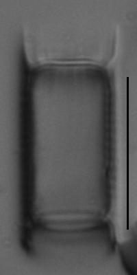 Aulacoseira subarctica LM7