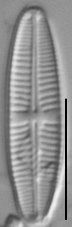 Achnanthidium delmontii LM2