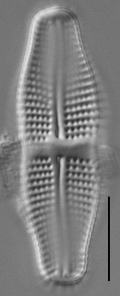 Achnanthes coarctata LM3