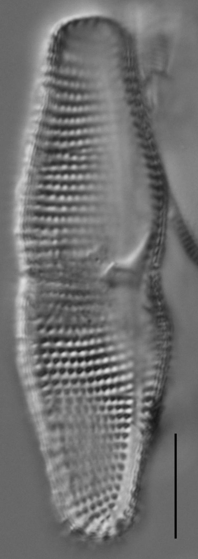 Achnanthes coarctata LM4