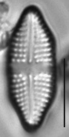 Achnanthes felinophila LM6
