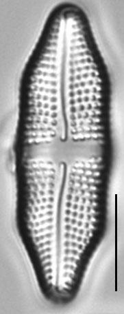 Achnanthes felinophila LM1
