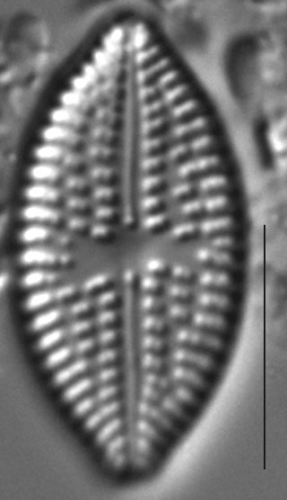 Aneumastus Minor 6