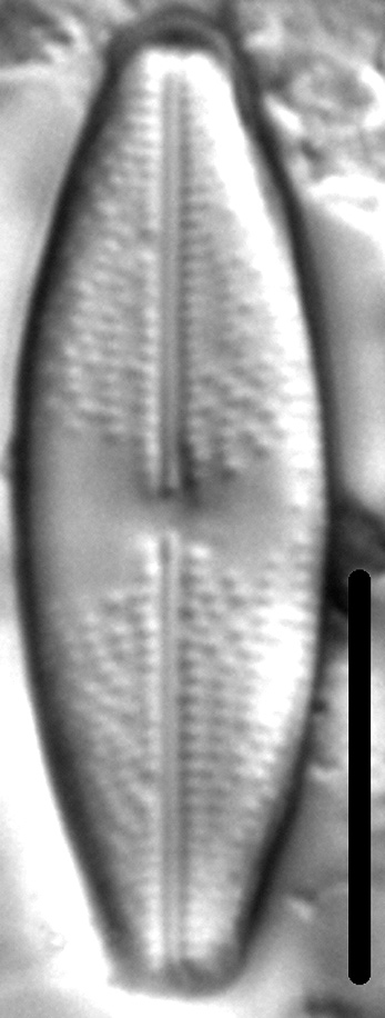 Anomoeoneis Monoensis 6 141901 4