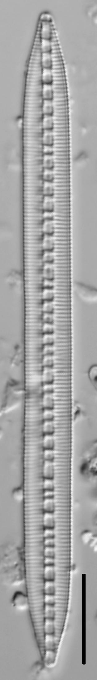 Bacillaria Paradoxa 003