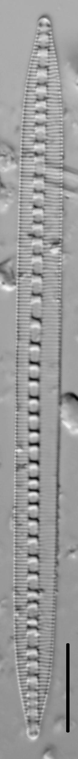 Bacillaria Paradoxa 004