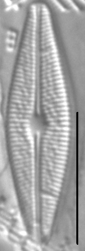 Brachysira styriaca LM6