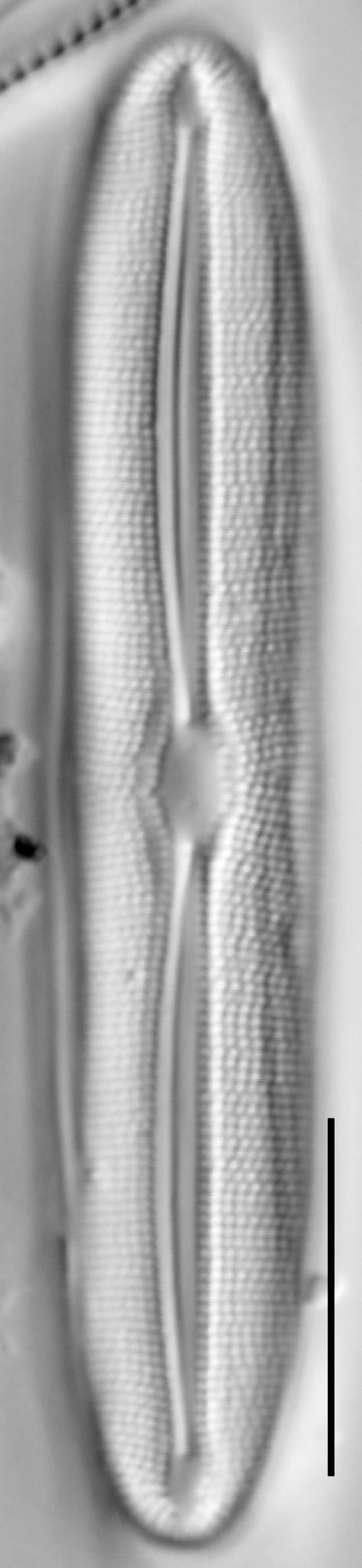 Frustulia asiatica LM5