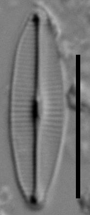 C Molestiformis Pic3 101708A 5Mv