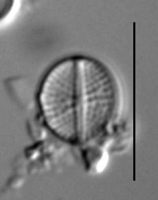 Cavinula pseudoscutiformis LM3